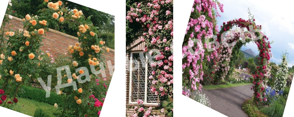 Когда сажают розы вьющиеся 95