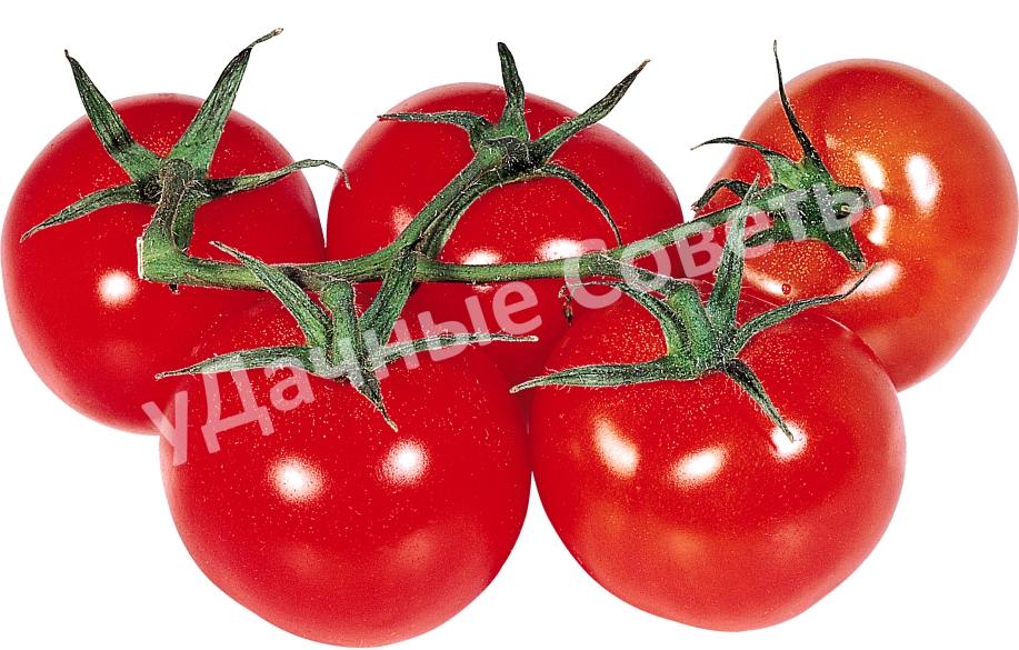 сибирские помидоры на веточке