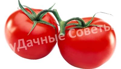 томаты на веточке
