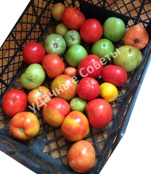 сибирские помидоры с дачи