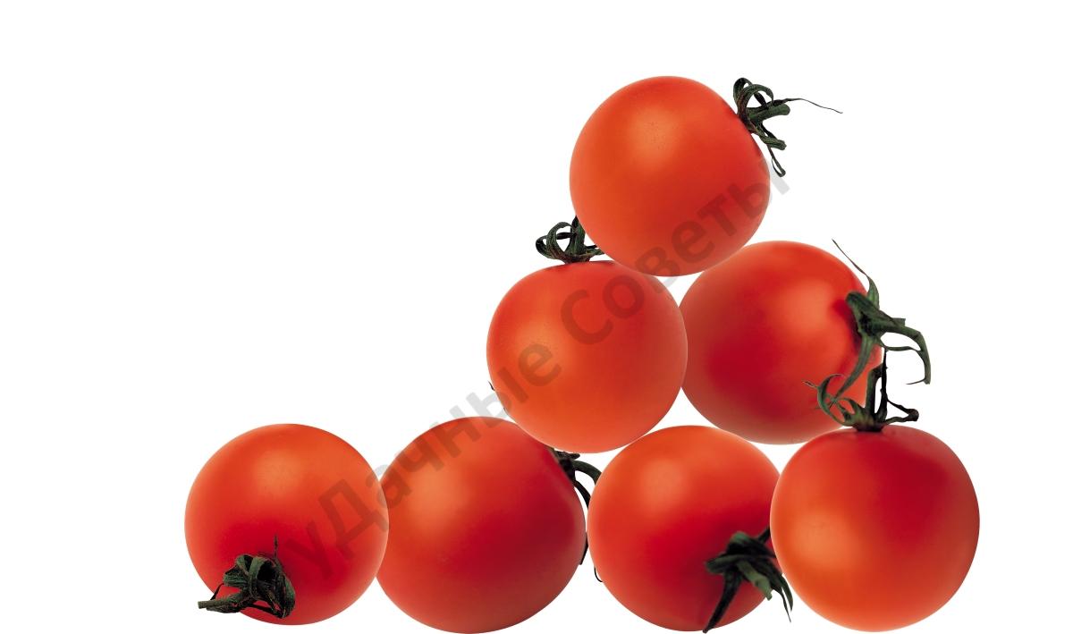 сибирские сорта помидоров