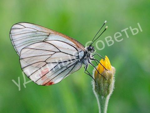 Бабочка боярышница вред