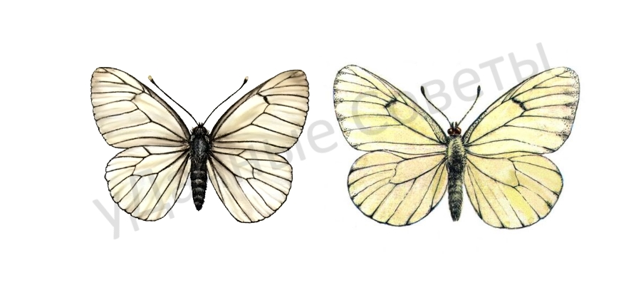 Бабочка боярышница фото