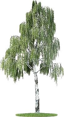 береза - дерево для дачи