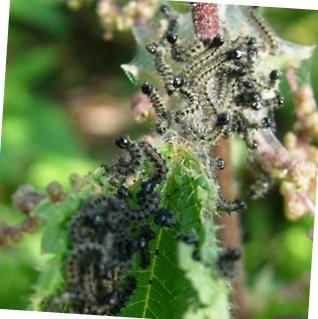 гусеница бабочки боярышницы фото