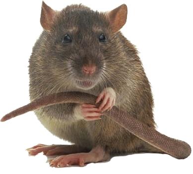 крысы на даче
