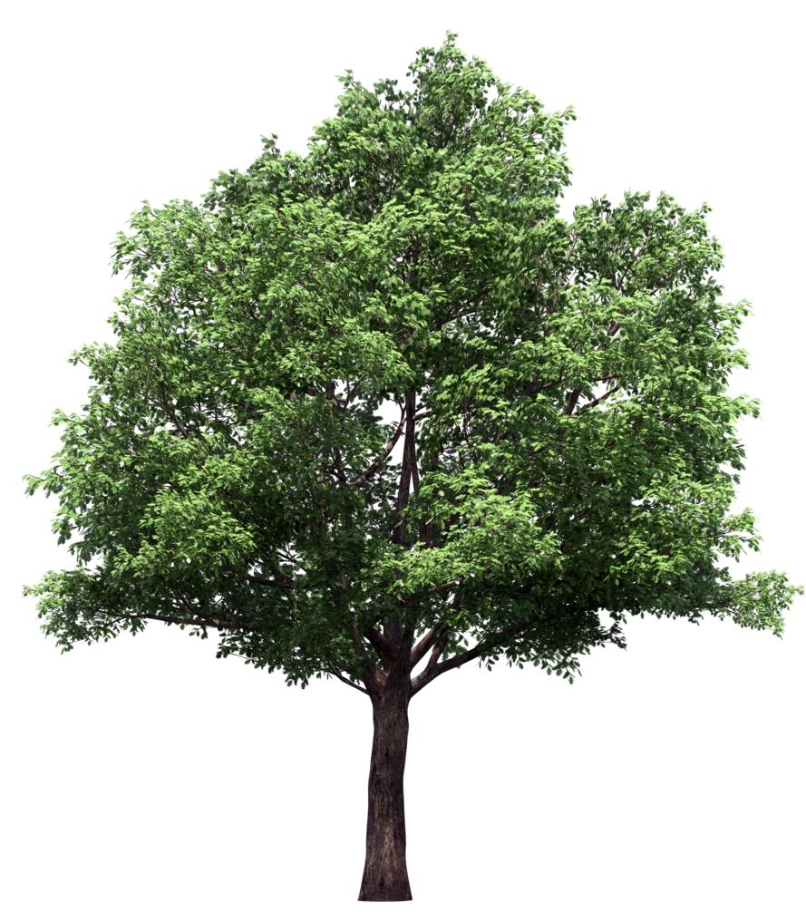 липа - дерево для сада