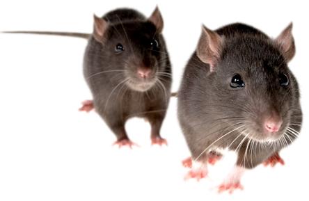 мышь полевая (полевка)