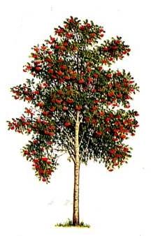 рябина - дерево для огорода