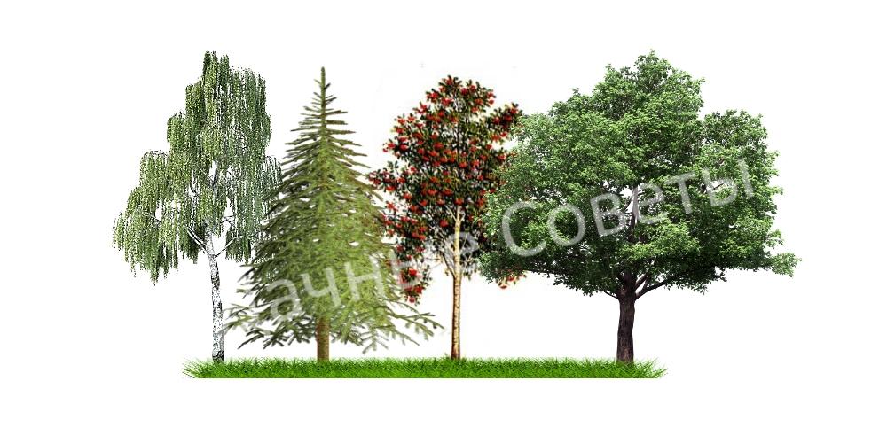 выбор дерева для дачи