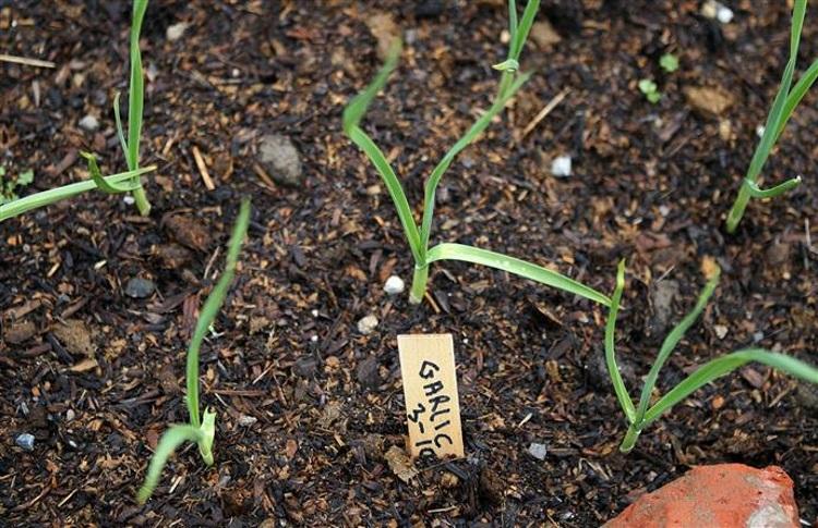 Как правильно выбрать почву для посадки чеснока