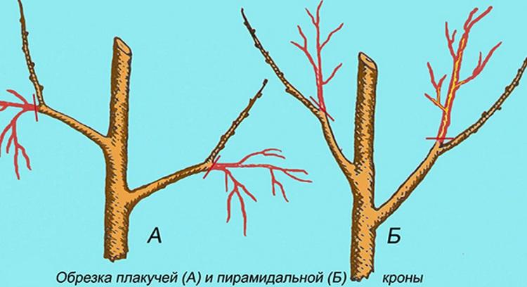 Как правильно обрезать плодовые деревья зимой