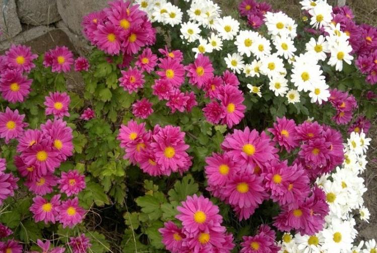 Хризантемы ромашковые: описание