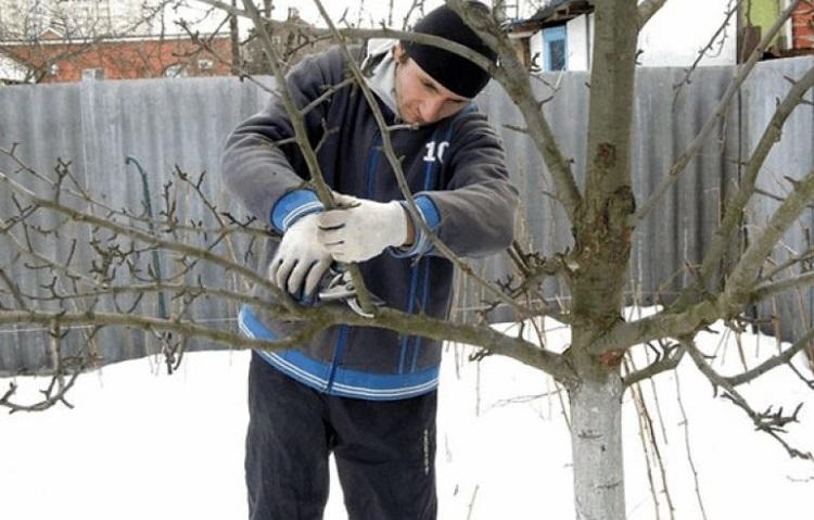 Обрезка плодовых деревьев зимой