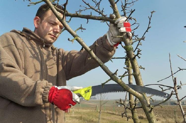 Виды весенней обрезки плодовых деревьев