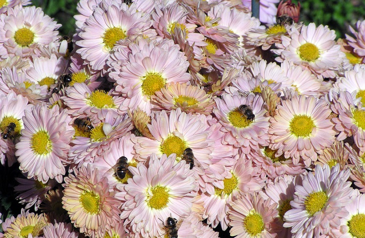 Уход за ромашковыми хризантемами