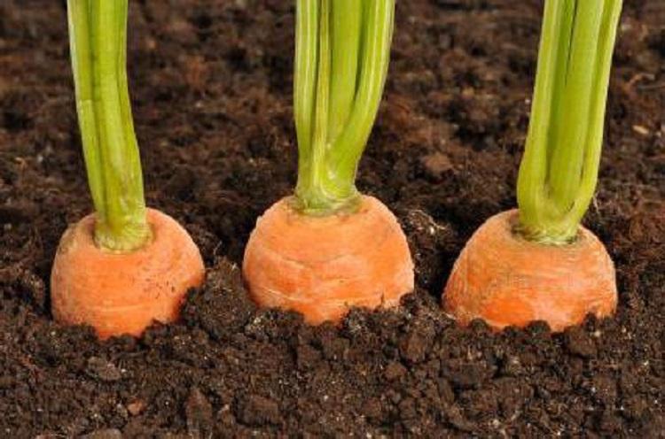 Особенности посадки сорта моркови Королева осени