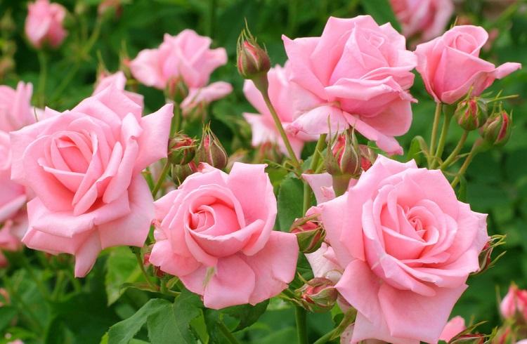 Выводы по удобрению для роз