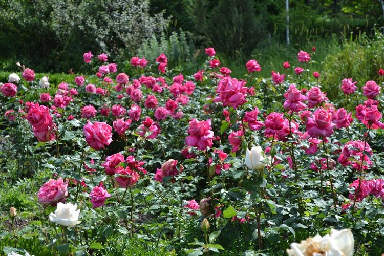 Чем удобрять розы перед зимой