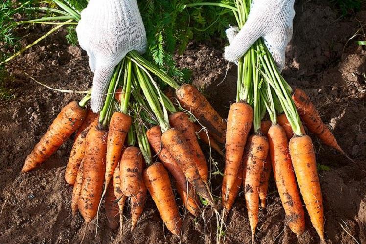 Болезни и вредители для морковь сорта «Королева осени»