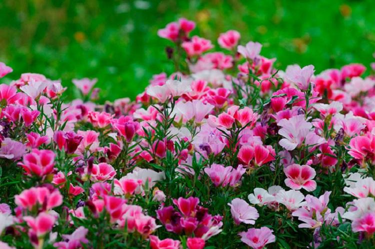 Чем однолетние цветы лучше многолетних