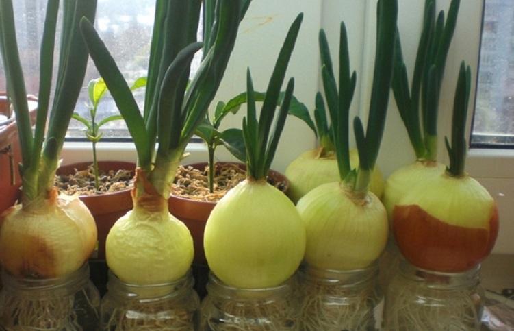 Как правильно вырастить лук в воде
