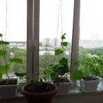 Выращивание огурцов зимой
